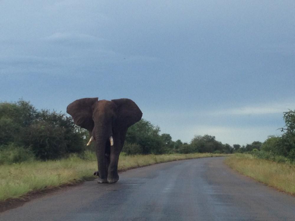 Elephant Bull in road